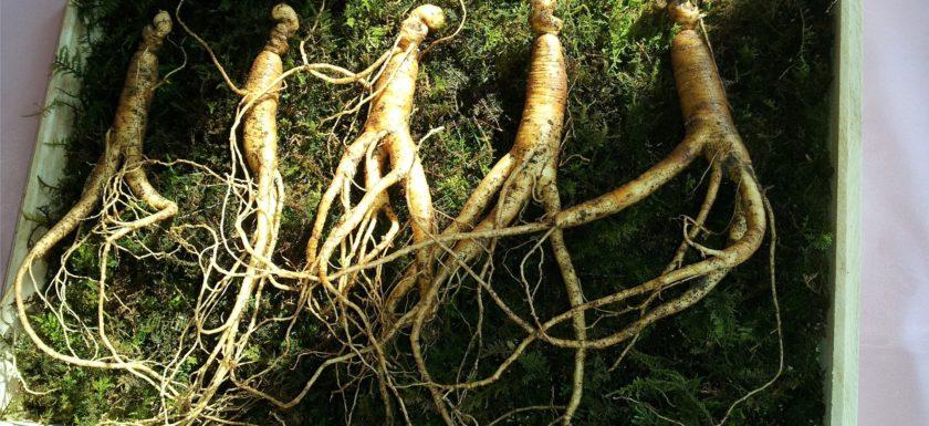 Ženšen - rostlinný adaptogen